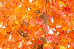 Brilliant Orange Fall Leaves Royalty Free Stock Photo