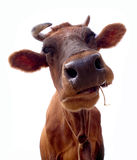 Brown cow portrait Royalty Free Stock Photo