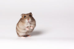 Brown hamster Royalty Free Stock Photography