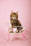 Brown tabby Maine Coon kitten sitting inside decorated white metal cart on pink background Stock Photo