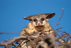 Brush tail possum in tree Stock Photos