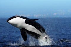 bryta igenom orca Fotografering för Bildbyråer