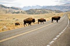 Buffalo crossing the road Stock Photo