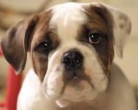 Bull dog puppy face Royalty Free Stock Photo