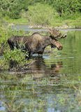 Bull moose in pond Stock Images