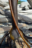 Bullwhip Kelp Bulb Stock Image
