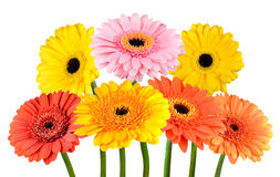Bunch of Colorful Gerbera Marigold Flowers Isolated on White Stock Photography