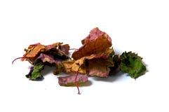 Bunte Patschulipflanzenblätter getrocknet Stockfotografie