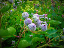 Burdock Stock Image
