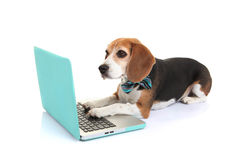 Business concept pet dog using laptop computer Stock Images