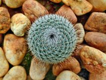 Cactus with pebble stones Royalty Free Stock Photography