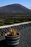 Cactus  viticulture  winery lanzarote spain Stock Photo