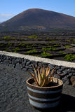 Cactus  viticulture  winery lanzarote Stock Photography
