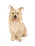 Cairn Terrier Dog Isolated on White Royalty Free Stock Image