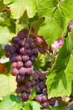 CALIFORNIA GRAPES Royalty Free Stock Images