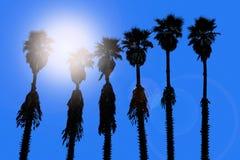 California palm trees washingtonia western surf flavour Royalty Free Stock Photography