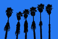 California palm trees washingtonia western surf flavour Royalty Free Stock Images