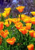 California Poppies Royalty Free Stock Images