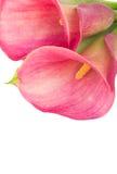 Calla lilly Royalty Free Stock Photos