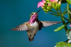 Calliope Hummingbird Stock Image