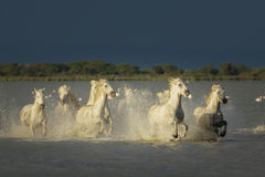 Camargue, wild horses Royalty Free Stock Photography