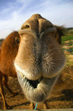 Camel close up Stock Images