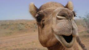 Camel Smiling Stock Photos