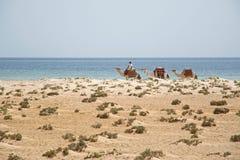 Cammelli sulla spiaggia Fotografia Stock