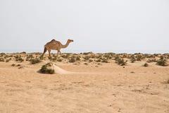 Cammello sulla spiaggia Immagini Stock Libere da Diritti