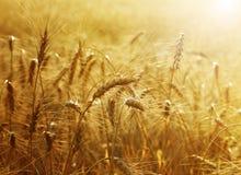 Campo di frumento dorato Fotografie Stock