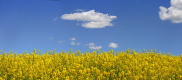 Canola and Blue Sky Royalty Free Stock Photos
