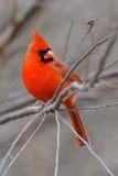 Cardinal 4b Royalty Free Stock Images