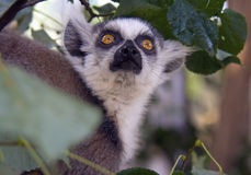 Cat lemur the primacy of Madagascar mammal Royalty Free Stock Photography