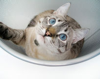 Cat Play 4 Stock Image
