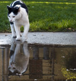 Cat with Reflection Royalty Free Stock Image