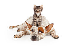 Catte Dog With Kitten on His Head Royalty Free Stock Photo