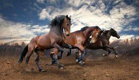 Cavalli di baia selvaggi di salto Immagini Stock