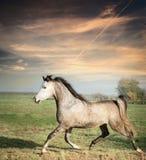Cavalo cinzento bonito do garanhão que corre no fraco sobre o fundo do pasto Imagem de Stock
