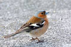 Chaffinch bird in the city, wild animals are migratory. Royalty Free Stock Photos