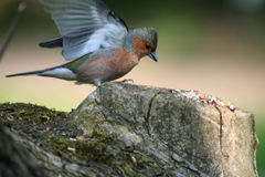 Chaffinch males Stock Images