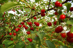 Cherry_3 Royalty Free Stock Photography