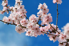 Cherry almond blossom Royalty Free Stock Images