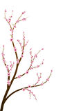 Cherry blossom branch Royalty Free Stock Photography