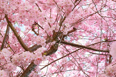 Cherry blossom canopy Royalty Free Stock Images