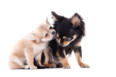 2 chihuahua dogs are caring Royalty Free Stock Photo
