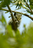 Chipmunk Hiding in a Tree! Stock Photo