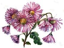 Chrysanthemum flower, bouquet, watercolor Royalty Free Stock Photo