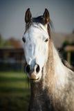 Ciérrese encima del retrato de Gray Horse Fotos de archivo