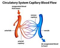 Circulatory System - Capilary blood flow Stock Photos