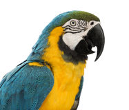 Close-up of a Blue-and-yellow Macaw, Ara ararauna, 30 years old Stock Photo